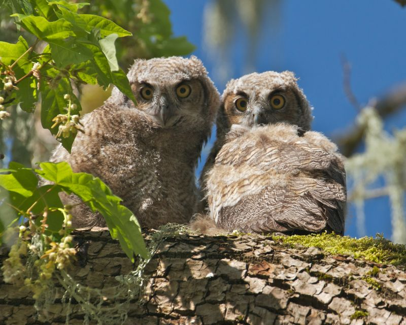 Baby Owls 2013